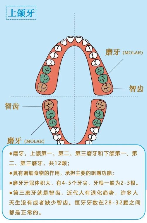 美悦大课堂 ▏牙齿矫正第一步:认识牙齿